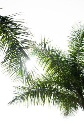 areca-palm-kentia-goudpalm-plantenverhuur-de-beste-kantoorplanten