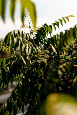 aspergeplant-asparagus-plantenverhuur-de-beste-kantoorplanten