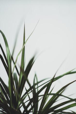 dracaena-drakenbloedboom-plantenverhuur-de-beste-kantoorplanten