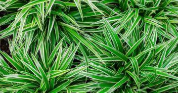 graslelie-chlorophytum-plantenverhuur-de-beste-kantoorplanten