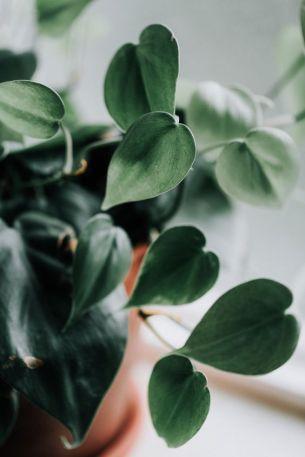 philodendron-plantenverhuur-de-beste-kantoorplanten