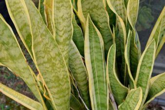 sansevieria-plantenverhuur-de-beste-kantoorplanten