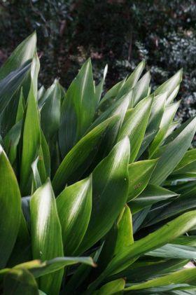 slagersplant-aspidistra-plantenverhuur-de-beste-kantoorplanten