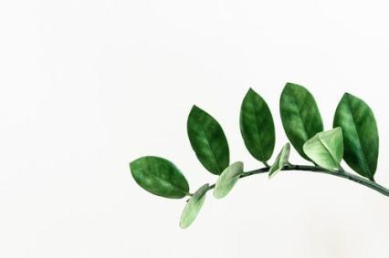 zamioculcas-plantenverhuur-de-beste-kantoorplanten